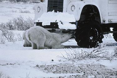 Polar Bear (Ursus maritimus) mother and cub lap up anti-freeze leaking from tundra buggy, Churchill, Manitoba, Canada  -  Flip  Nicklin