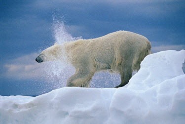 Polar Bear (Ursus maritimus) shakes, off water, Wager Bay, Canada  -  Flip  Nicklin