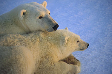 Polar Bear (Ursus maritimus) and cub at dawn, Churchill, Manitoba, Canada  -  Flip  Nicklin