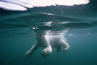 Polar Bear (Ursus maritimus) swimming, Wager Bay, Canada  -  Flip  Nicklin