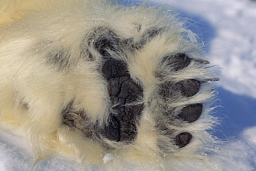 Polar Bear (Ursus maritimus) paw showing black pads and thick fur, Canada