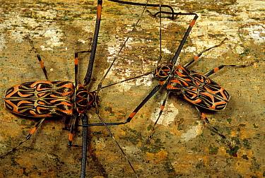 Harlequin Beetle (Acrocinus longimanus) pair in courtship ritual, French Guiana  -  Mark Moffett