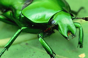 Flower Beetle (Ischiopsopha sp) portrait, Panama  -  Mark Moffett