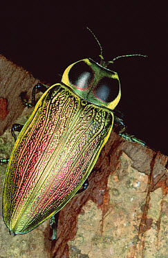 Metallic Wood-boring Beetle (Euchroma gigantea) portrait, El Yano Carti road, Panama  -  Mark Moffett