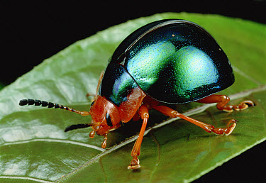 Leaf Beetle (Chrysomelidae) portrait, South Africa  -  Mark Moffett