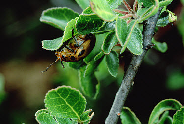 Flea Beetle (Diamphidia nigroornata) feeding on Myrrh Tree (Commiphora sp) larvae produce a toxin not found in adults which is used by Kalahari Bushmen as a poison, Namibia  -  Mark Moffett