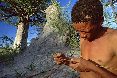 Flea Beetle (Diamphidia nigroornata) larvae used to poison arrow by Kalahari or Kung Desert Bushman, Namibia  -  Mark Moffett