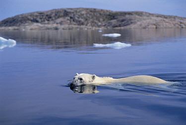 Polar Bear (Ursus maritimus) swimming, Wager Bay, Canada  -  Flip  Nicklin