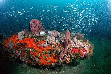 Coral and schooling fish, Gray's Reef National Marine Sanctuary, Georgia  -  Flip  Nicklin
