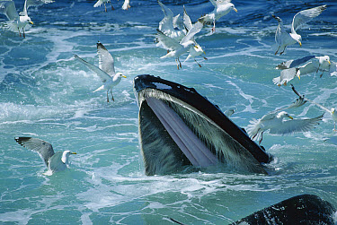 Humpback Whale (Megaptera novaeangliae) feeding, with Herring Gulls (Larus argentatus) waiting for leftovers, Stellwagen Bank National Marine Sanctuary, Massachusetts  -  Flip  Nicklin