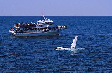 Humpback Whale (Megaptera novaeangliae) with flipper raised, observed by people on a whale-watching boat, Stellwagen Bank National Marine Sanctuary, Massachusetts  -  Flip  Nicklin
