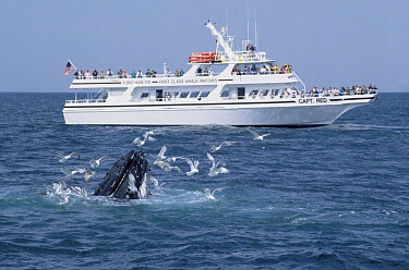 Humpback Whale (Megaptera novaeangliae) and whale watching boat, Stellwagen Bank National Marine Sanctuary  -  Flip  Nicklin