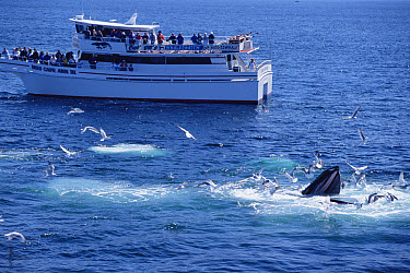 Whale watching group observing Humpback Whale (Megaptera novaeangliae), Stellwagen Bank National Marine Sanctuary, Massachusetts  -  Flip  Nicklin