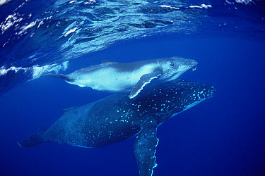 Humpback Whale (Megaptera novaeangliae) mother and calf underwater, Tonga  -  Flip  Nicklin