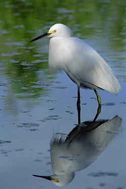Snowy Egret (Egretta thula) wading through shallow water, Florida Keys  -  Flip  Nicklin