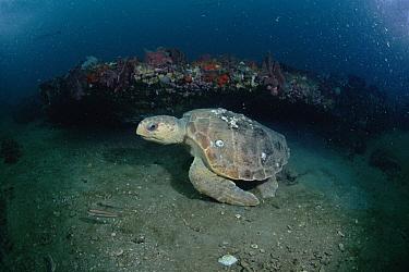 Loggerhead Sea Turtle (Caretta caretta) swimming beside reef, Grey's Reef National Marine Sanctuary, Georgia  -  Flip  Nicklin