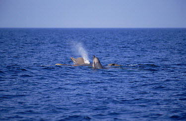 Bottlenose Whale (Hyperoodon ampullatus) group surfacing, Nova Scotia, Canada  -  Flip  Nicklin