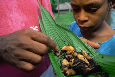 Red Palm Weevil (Rhynchophorus ferrugineus) larvae in leaf cooked by Kutapae family, Hala, Papua New Guinea  -  Mark Moffett