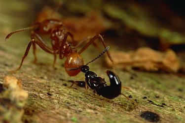 Rove Beetle (Stenus sp) biting Leafcutter Ant (Attini sp) on rear, Belize  -  Mark Moffett
