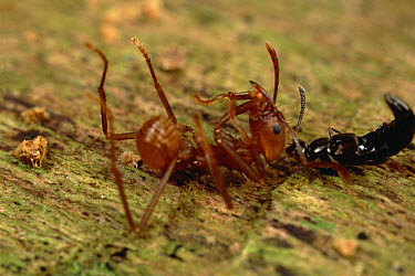 Leafcutter Ant (Attini sp) succumbs to Rove Beetle (Stenus sp) poison and is dragged from trail by beetle, Belize  -  Mark Moffett
