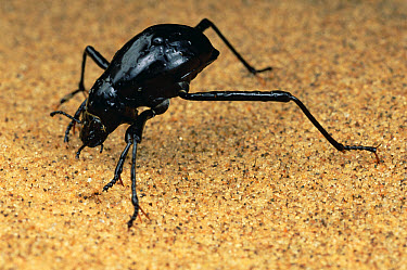 Darkling Beetle (Onymacris unguicularis) tips its head down to drink dew collected on its back, Namibia  -  Mark Moffett