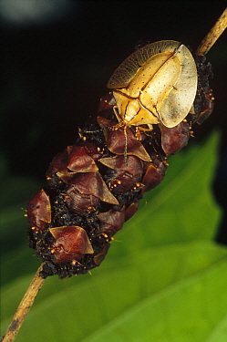 Tortoise Beetle (Acromis sparsa) mother uses body as shield to guard her young, Panama