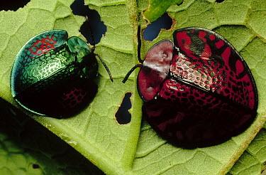 Tortoise Beetle pair, French Guiana  -  Mark Moffett