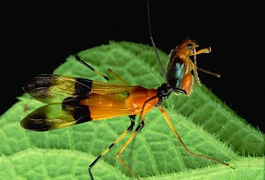 Scorpion Fly eats Flea Beetle, Fortuna National Park, Panama  -  Mark Moffett