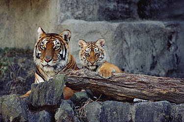 Siberian Tiger (Panthera tigris altaica) mother with cub, Asia  -  Shin Yoshino