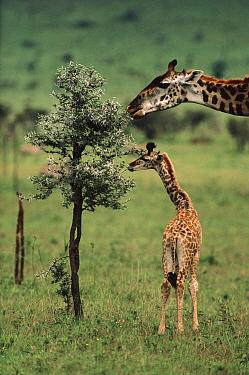 Giraffe (Giraffa sp) mother and young browsing on Whistling Thorn (Acacia drepanolobium) acacia tree, native to Africa  -  Mitsuaki Iwago