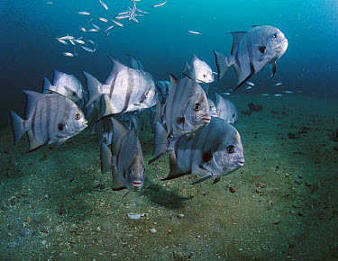 Atlantic Spadefish (Chaetodipterus faber) school, Gray's Reef National Marine Sanctuary, Georgia  -  Flip  Nicklin