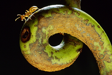 Carpenter Ant (Camponotus schmtzi) on tendril of host Pitcher Plant (Nepenthes bicalcarata), Borneo, Malaysia
