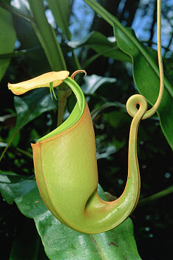 Pitcher Plant (Nepenthes bicalcarata) traps insects in fluid filled cup where the insects drown and are slowly digested by the plant's juices, Borneo  -  Mark Moffett