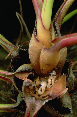 Ant (Formicidae) colony living in Dancing Bulb (Tillandsia bulbosa) scientists are studying whether the ants and plant have a symbiotic relationship, French Guiana  -  Mark Moffett