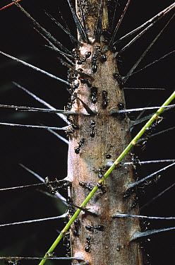 Ants together with the plant's spines guards a Rattan Palm, Singapore  -  Mark Moffett