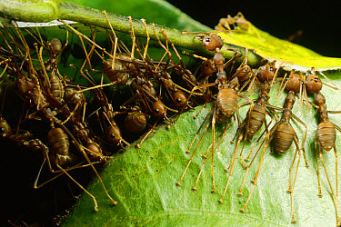 Weaver Ant (Oecophylla longinoda) group grab an adjacent leaf and stem with mandibles and toes and pull, gradually binding them together, Malaysia  -  Mark Moffett