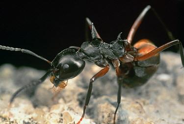Herdsman Ant (Dolichoderus cuspidatus) moving a Mealybug, Malaysia  -  Mark Moffett