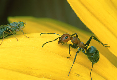 Ant (Formica sp) drives off fly that attacks embryos of the Aspen Sunflower, Colorado  -  Mark Moffett