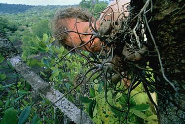 Entomologist and photographer Dr. Mark Moffett examines an epiphyte for ants, French Guiana  -  Mark Moffett