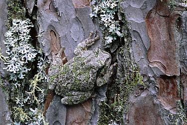 Gray Tree Frog (Hyla versicolor) camouflaged on moss-covered tree trunk, Northwoods, Minnesota  -  Jim Brandenburg