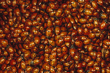 Convergent Lady Beetle (Hippodamia convergens) mass on Mt Lemmon, Tucson, Arizona  -  Mark Moffett