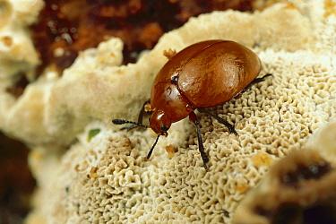 Pleasing Fungus Beetle (Megalodacne heros), Alamos, sonoran Mexico  -  Mark Moffett