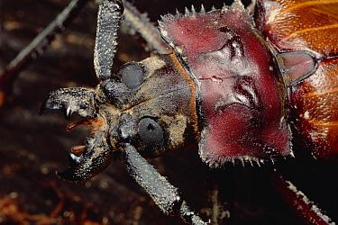 Longhorn Beetle portrait, Sarawak, Borneo  -  Mark Moffett