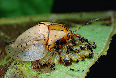 Tortoise Beetle (Acromis sparsa) mother using body as a shield to guard her young, Panama  -  Mark Moffett