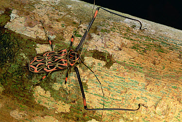 Harlequin Beetle (Acrocinus longimanus) portrait on log  -  Mark Moffett