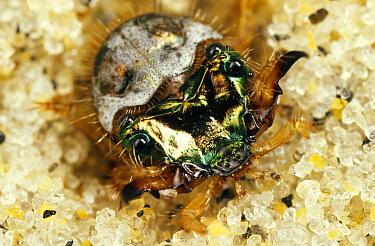 Northern Beach Tiger Beetle (Cicindela dorsalis dorsalis) larva in its burrow, Martha's Vineyard, Massachusetts  -  Mark Moffett