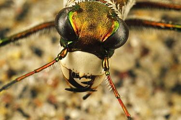 Northern Beach Tiger Beetle (Cicindela dorsalis dorsalis) close up of adult head, Martha's Vineyard, Massachusetts  -  Mark Moffett