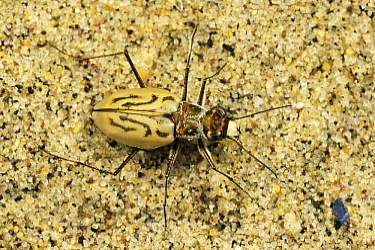 Northern Beach Tiger Beetle (Cicindela dorsalis dorsalis) on sand, Martha's Vineyard, Massachusetts