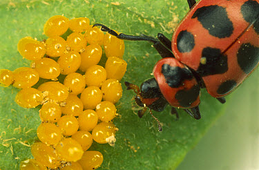 Convergent Lady Beetle (Hippodamia convergens) eating eggs of a Colorado Potato Beetle (Leptinotarsa decemlineata) as part of national pest control program  -  Mark Moffett