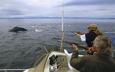 Humpback Whale (Megaptera novaeangliae) researchers Lea Gerber and Dr James Darling shoot biopsy darts at whales with dart bouncing off whale unnoticed, carrying a sample of fat and skin in the tip, A...  -  Flip  Nicklin